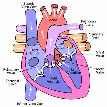The Human Heart: Anatomy, Chambers, Valves, Layers and Linings ...