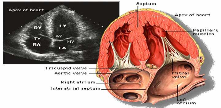Echocardiography or Echo | Irasto World Health